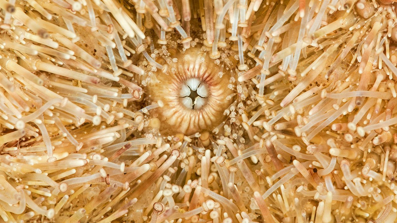 Sea Urchins Who Feed On Rocks Have In-Built Self-Sharpening Teeth